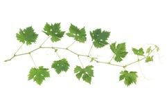 Vine twig stock photo