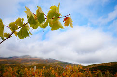 Vine twig over green vineyards Mountains at  background Stock Photography
