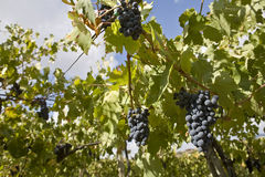 Vine under the sun Royalty Free Stock Photography