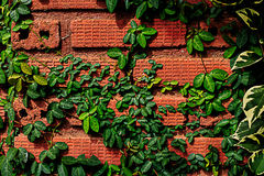 Vine up the  brown brick Royalty Free Stock Images