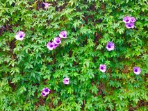 Vine vertical garden background texture Royalty Free Stock Photos