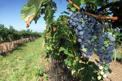 Vine and vineard Stock Photography