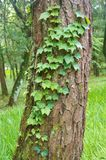 Vine. S crawling on a tree Royalty Free Stock Photo