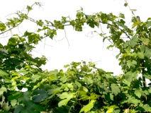 Vine, vineyard background. Leaves frame sky. Stock Images