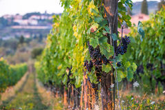 Vine at vineyard in the evening royalty free stock photo