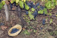 Vine Vineyard Hat Full Grapes Syrah Royalty Free Stock Photography