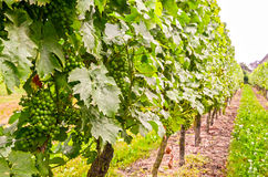 Vine in a vineyard in summer - White wine grapes during growth Royalty Free Stock Photos