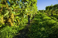On the vine in the vineyard Royalty Free Stock Photo