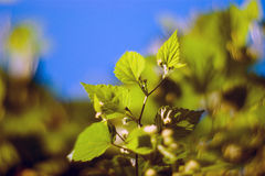 The vine (Vitis) Stock Photography