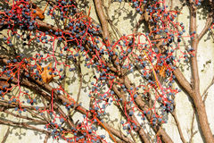 Vine on the wall no.1 Royalty Free Stock Images