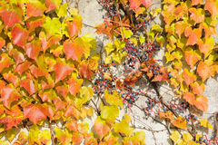 Vine on the wall no.3 Stock Photo