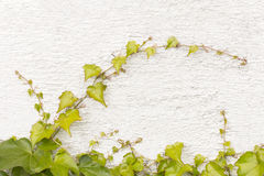 Vine on the wall Royalty Free Stock Image