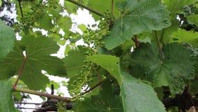 Vine stock video footage