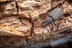 Vine Weevil on Rotten Log_Otiorhynchus sulcatus royalty free stock photo