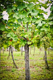 Vine with white Grapes Royalty Free Stock Image