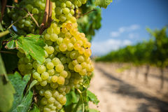 Vine with white grapes stock image