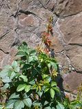 Vine of wild grapes. Wall of the old stone, decorated with green vine of wild grapes royalty free stock photos