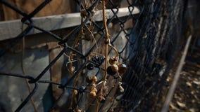 A vine of wild grapes hangs down through the fence mesh. This video shows A vine of wild grapes hangs down through the fence mesh stock video