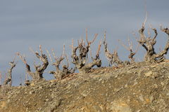 Vine in winter Stock Photography