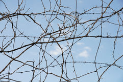 Free Vine Wire Royalty Free Stock Image - 15637976