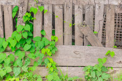 Vine with wood fence nature. Royalty Free Stock Image