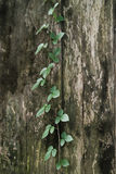 The vine on wood Stock Photo