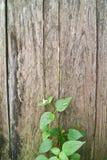 The vine on wood Stock Photo