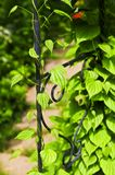Vine on wrought iron arbor. Closeup on green yam vine climbing on wrought iron arbor Stock Photography