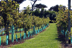 Vine yard royalty free stock photography