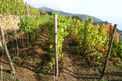 Vine yard in Liguria Italy Stock Photography