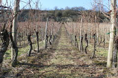 Vine yard. Line-up end winter / early spring Stock Images
