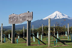 Vine yard an mountain. Vine yard at okurukuru restaurant/winery in new plymouth, taranaki, new zealand on the west coast of the north island with mt taranaki as Stock Images