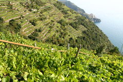 Vineyard by the sea. In Liguria Royalty Free Stock Image
