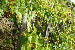 Vine yard by the sea Stock Photography