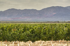 Vine yards in Cafayate. Argentina Stock Images