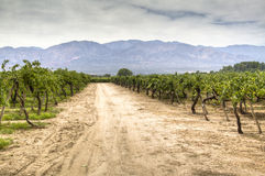 Vine yards in Cafayate. Argentina Royalty Free Stock Image