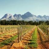 Vine yards. The Lourensford vines yards in Sometset West stock image