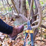 Vinecutters tool and boot. Invasive oriental bittersweet vines and native grape vine entangle the base of a tree in Rockefeller State Park Preserve. Laupers rest stock images