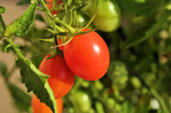 Vined Tomatoes  Stock Images