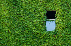 Vined Wall with Window. Virginia Creeper vines covering wall with open window Stock Photography
