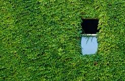 Vined Wand mit Fenster Stockfotografie