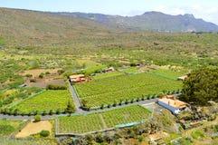 Vinedos Angola vineyard. In Vilaflor Santa Cruz de Tenerife royalty free stock photo