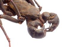 Vinegaroon蝎子 免版税图库摄影