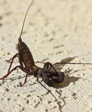 Vinegaroon, также известное как скорпион хлыста Стоковая Фотография