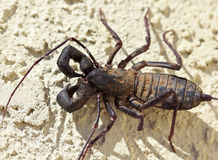 A Vinegaroon, Also Known as Whip Scorpion Royalty Free Stock Photography