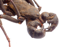 Vinegaroon skorpion Fotografia Royalty Free