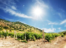 Vineguard. Vinery on the sunny background Royalty Free Stock Photography