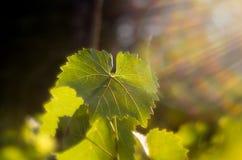 Vineleaves i h?st Vinrankasidor som tänds av inställningssolen Gröna sidor som tänds av mjukt solljus Vinvingårdar som skiner frå royaltyfria foton
