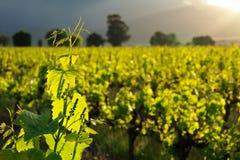 Vinen lämnar Royaltyfri Fotografi