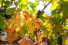 Vinery Imagens de Stock Royalty Free